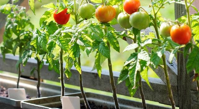 Horta com tomates